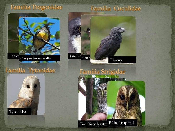 Familia Trogonidae<br />Familia  Cuculidae<br />Coa cola cobriza<br />Coa pecho amarillo<br />Cuclillo pecho sucio<br />Co...