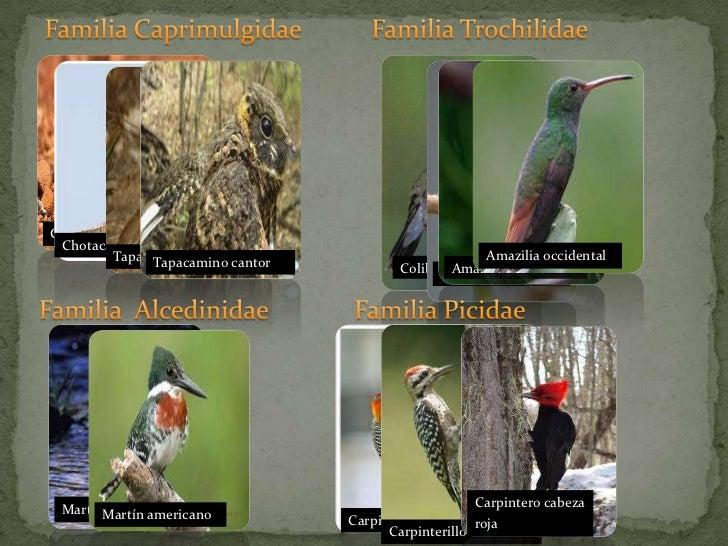Familia Caprimulgidae <br />Familia Trochilidae<br />Chotacabra halcón<br />Chotacabra Zumbón<br />Tapacamino pucuyo<br...