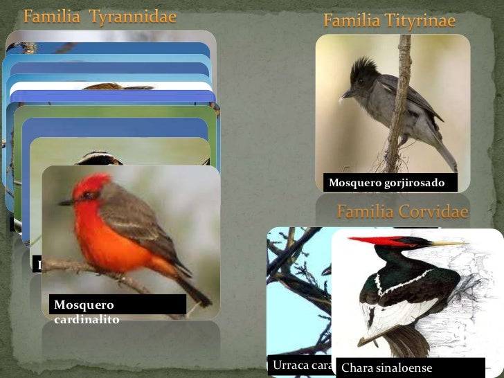 Familia  Tyrannidae<br />Familia Tityrinae <br />Tirano tropical común<br />Luis bienteveo<br />Mosquero gorjirosado<br />...