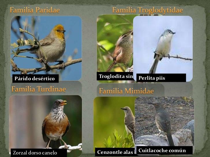Familia Paridae<br />Familia Troglodytidae<br />Troglodita sinaloense<br />Perlita piis<br />Párido desértico<br />Familia...