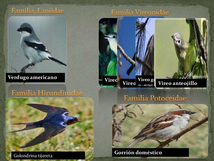 Familia  Laniidae<br />Familia Vireonidae<br />Verdugo americano<br />Vireo de bell<br />Gorrión doméstico<br />Vireo gorr...