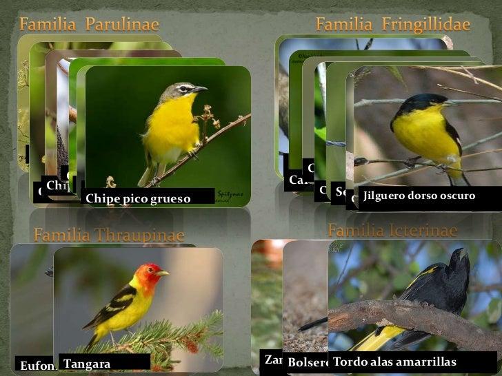 Familia  Parulinae<br />Familia  Fringillidae<br />Chipe celato<br />Cardenal pardo<br />Chipe norteño<br />Chipe gorjibla...