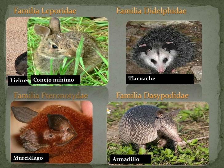 Familia Didelphidae<br />Familia Leporidae <br />Tlacuache<br />Liebre torda<br />Conejo mínimo<br />Familia Pteronotydae<...
