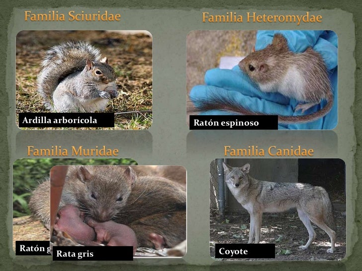 Familia Sciuridae<br />Familia Heteromydae<br />Ardilla arborícola<br />Ratón espinoso<br />Familia Muridae <br />Familia ...