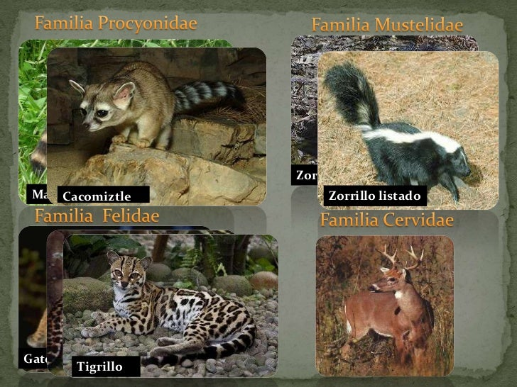 Familia Procyonidae<br />Familia Mustelidae<br />Zorrillo encapuchado<br />Zorrillo listado<br />Mapache<br />Familia  Fel...