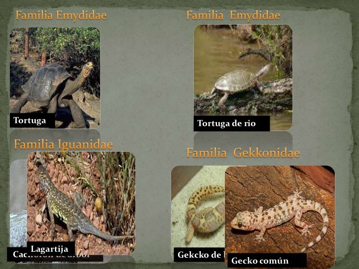 Familia Emydidae<br />Familia  Emydidae<br />Tortuga<br />Familia Iguanidae<br />Familia  Gekkonidae<br /> Cachoron de árb...