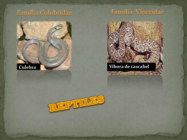 Familia  Viperidae<br />Familia Colubridae<br />Víbora de cascabel<br />Culebra<br />REPTILES<br />