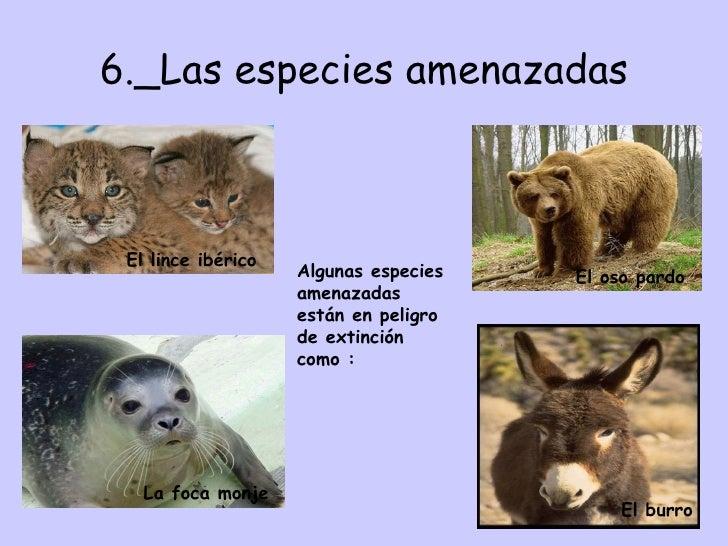 6._Las especies amenazadas Algunas especies amenazadas están en peligro de extinción como : El lince ibérico La foca monje...