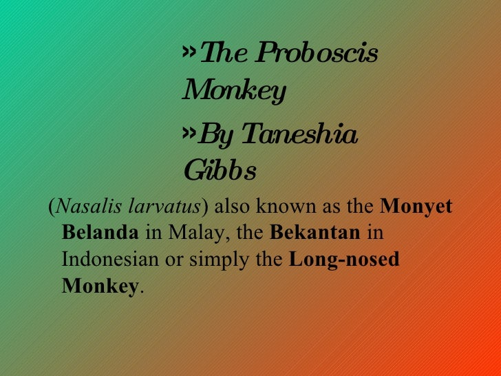 <ul><li>( Nasalis larvatus ) also known as the  Monyet Belanda  in Malay, the  Bekantan  in Indonesian or simply the  Long...