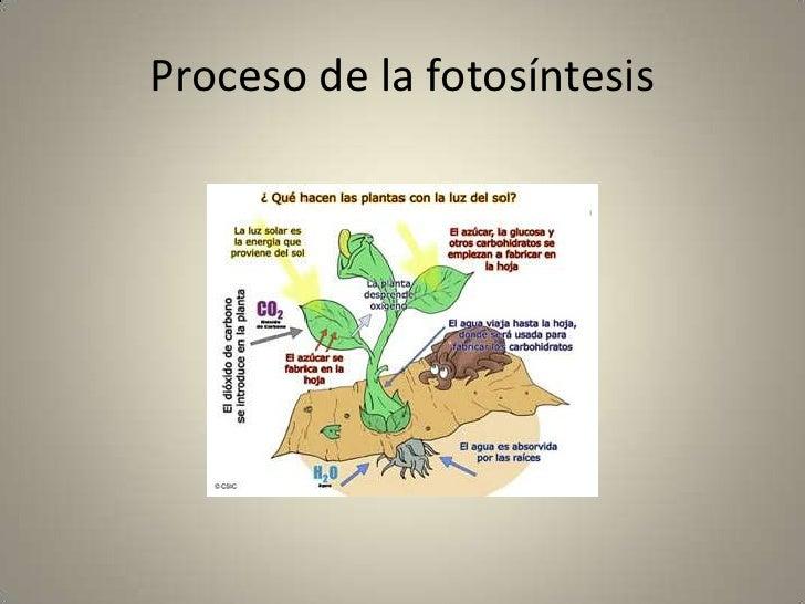 Proceso De La Fotosintesis 1