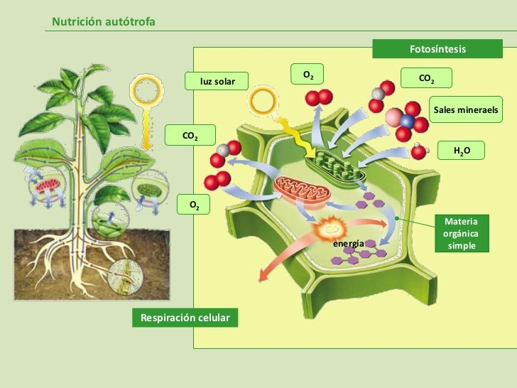 photosynthesis and semi conductor based solar cells