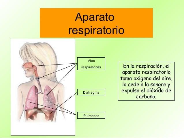 Aparatorespiratorio      Vías  respiratorias     En la respiración, el                   aparato respiratorio             ...