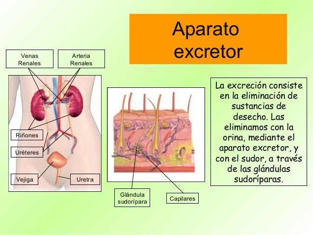 Aparato  Venas Renales            Arteria           Renales                                   excretor                    ...