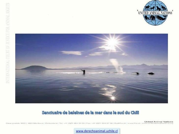 Sanctuaire de baleines de la mer dans le sud du Chili<br />www.derechoanimal.uchile.cl<br />