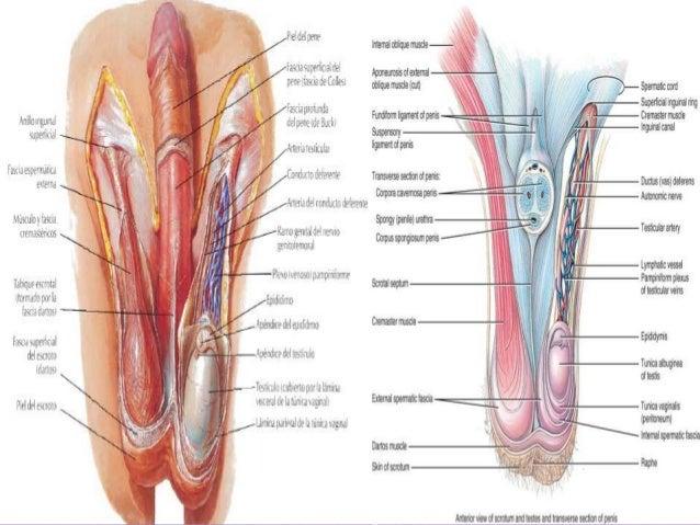 musculo cremaster