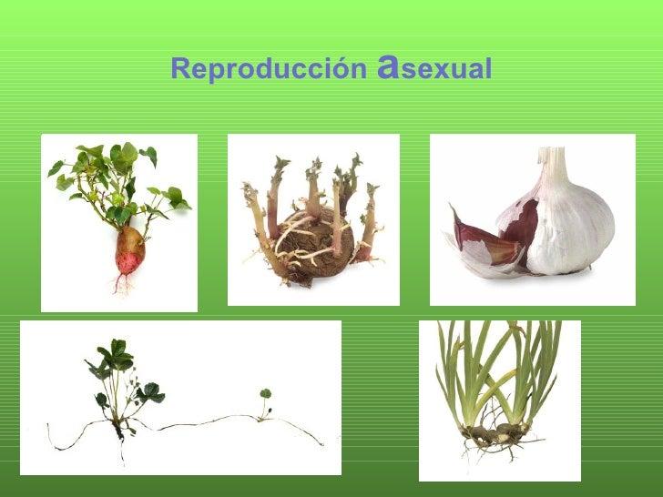 Plantas asexual zanahoria