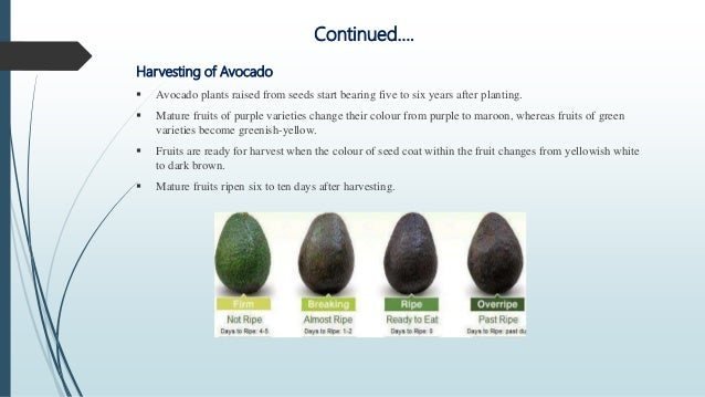 Production technology of avocado in bangladesh