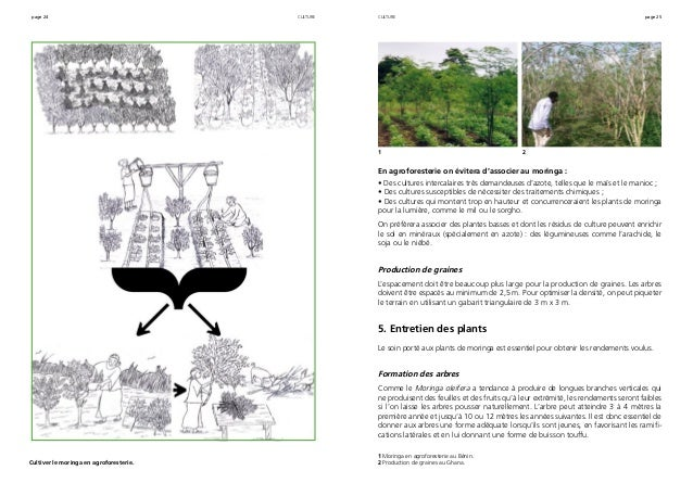 page 24 page 25 Cultiver le moringa en agroforesterie. culture En agroforesterie on évitera d'associer au moringa : • Des ...