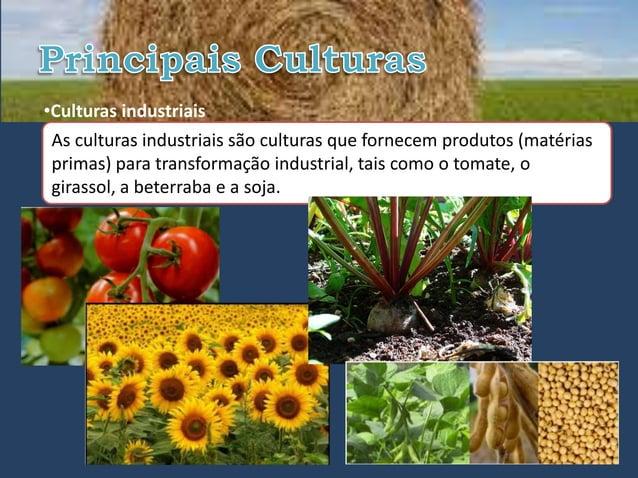 •Culturas industriais As culturas industriais são culturas que fornecem produtos (matérias primas) para transformação indu...