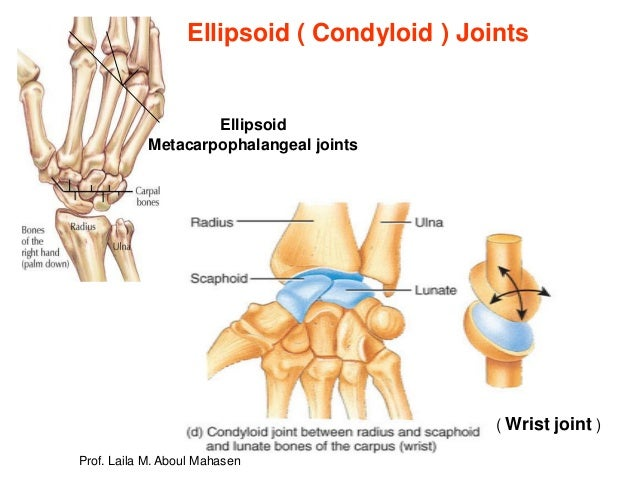 Awesome Condyloid Joint Diagram A Saddle Joint Represented By Wiring Wiring Cloud Hisonuggs Outletorg