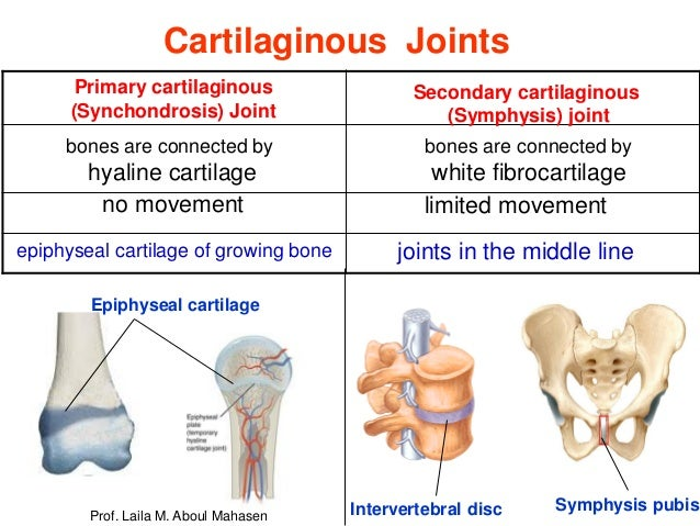 Prof Laila Kau Articular System 2018 This is a synchondrosis, a cartilage sandwich with bone on either side. prof laila kau articular system 2018