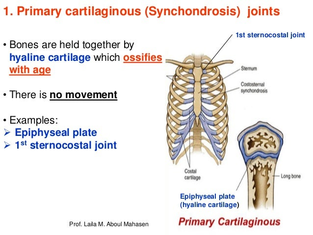 Prof Laila Kau Articular System 2018 A synchondrosis (or primary cartilaginous joint) is a type of cartilaginous joint where hyaline cartilage completely joins together two bones. prof laila kau articular system 2018