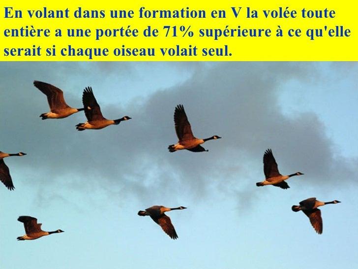En volant dans une formation en V la volée toute entière a une portée de 71% supérieure à ce qu'elle serait si chaque oise...