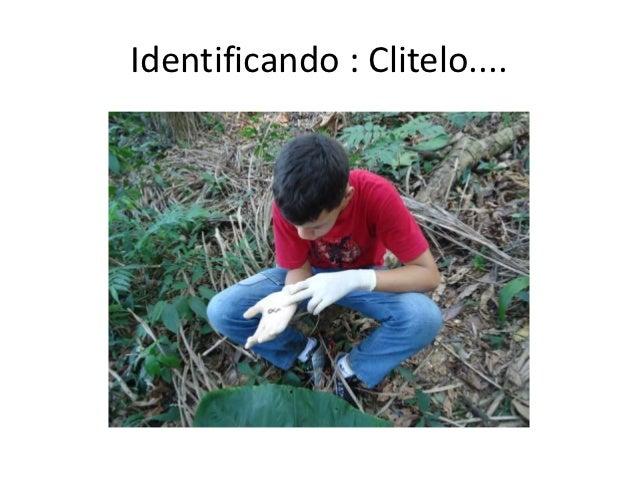 Identificando : Clitelo....