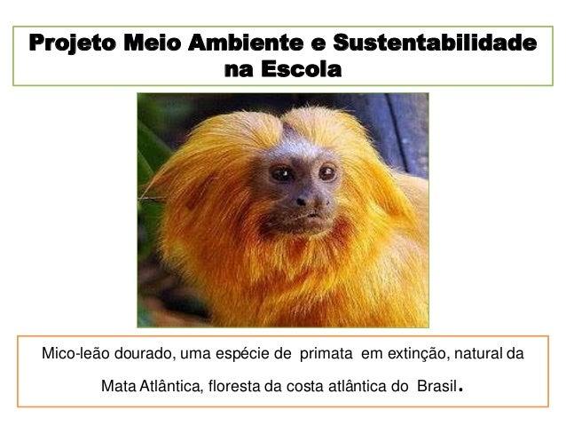 Mico-leão dourado, uma espécie de primata em extinção, natural daMata Atlântica, floresta da costa atlântica do Brasil.Pro...