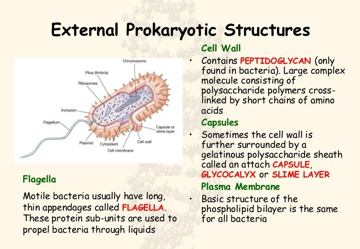 what is the relationship between a prokaryotic glycocalyx and capsule