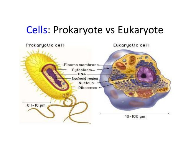 prokaryotes and eukaryotes Despite these similarities, prokaryotes and eukaryotes differ in a number of important ways a prokaryote is a simple, single-celled organism that lacks a nucleus and membrane-bound organelles.