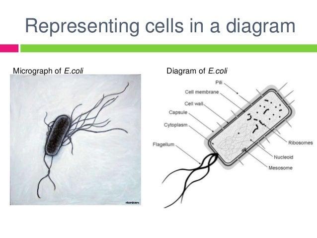 Prokaryotic cells structure  Prokaryotic cel...
