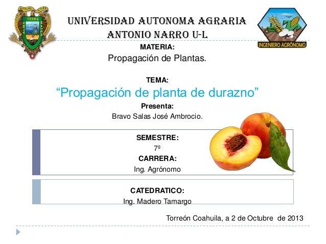 """UNIVERSIDAD AUTONOMA AGRARIA ANTONIO NARRO U-l MATERIA:  Propagación de Plantas. TEMA:  """"Propagación de planta de durazno""""..."""