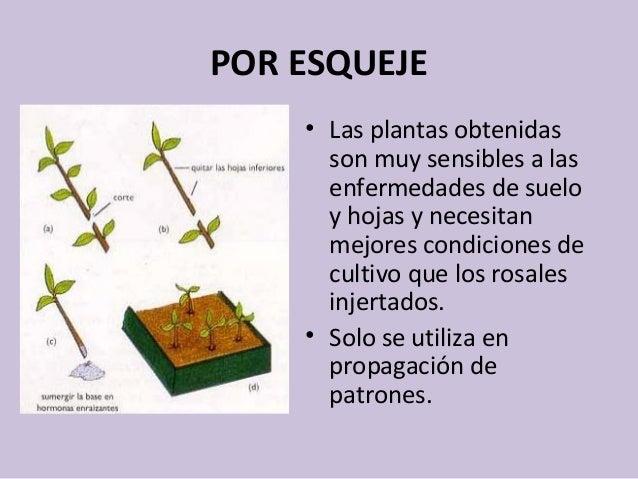 Propagaci n del rosal for Que es una mesa de cultivo