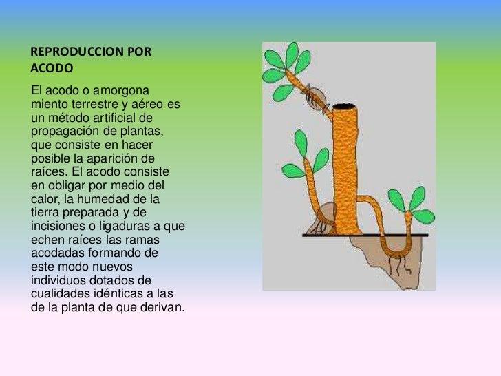 Reproduccion asexual en plantas acodo terrestre