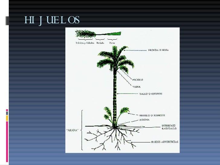 Manones reproduccion asexual de las plantas