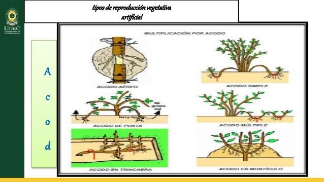 Reproduccion vegetativa o asexual