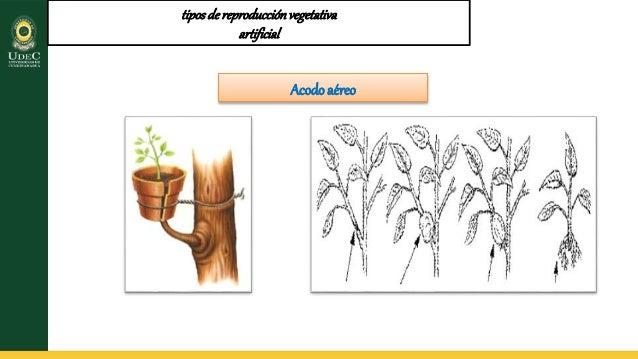 Tipos de propagacion vegetal asexual