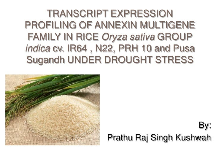 TRANSCRIPT EXPRESSIONPROFILING OF ANNEXIN MULTIGENE FAMILY IN RICE Oryza sativa GROUPindica cv. IR64 , N22, PRH 10 and Pus...