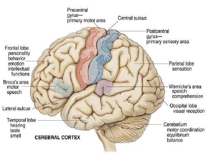 Chapter 21 <ul><li>Cerebral Cortex </li></ul>Figure 21-1. p. 688.