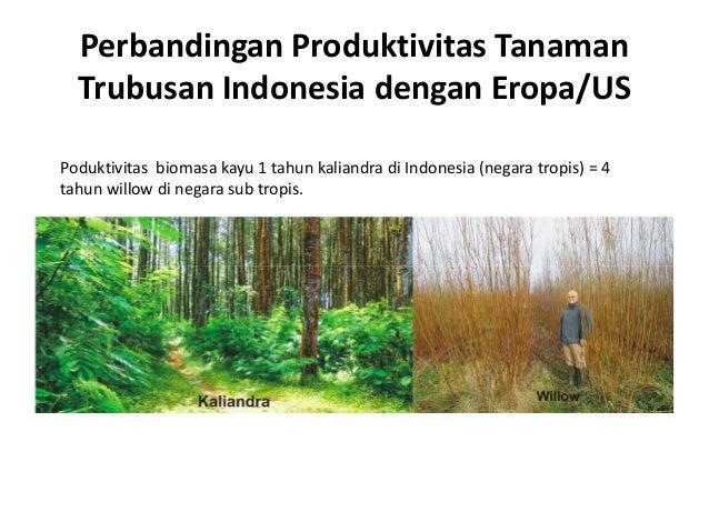 Perbandingan Produktivitas Tanaman Trubusan Indonesia dengan Eropa/US Poduktivitas biomasa kayu 1 tahun kaliandra di Indon...