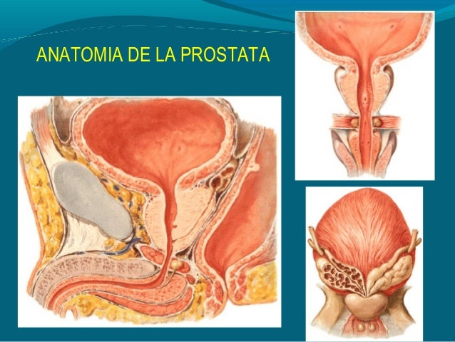 Prostata Anatomía