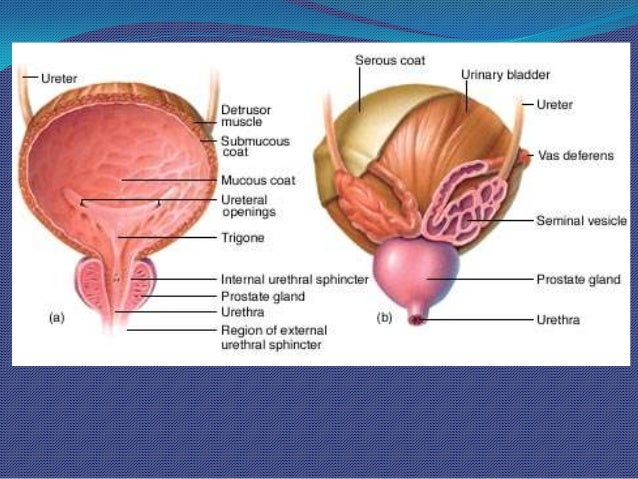 Surgical Anatomy Of Prostate
