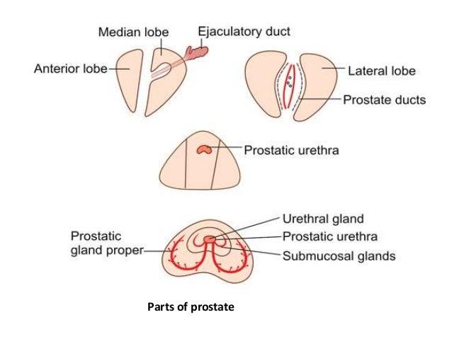 Prostate Anatomy Diagram Lobes - Electrical Work Wiring Diagram •