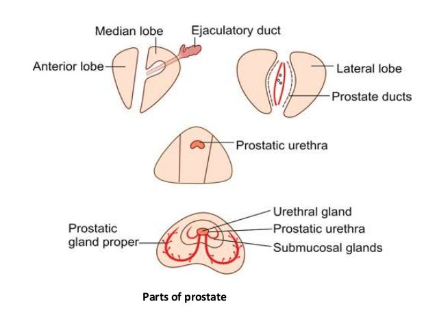 Prostate Anatomy,physiology & Pathology