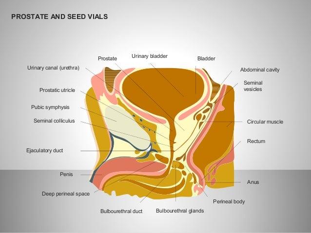 prostate and seminal vesicles diagram. Black Bedroom Furniture Sets. Home Design Ideas