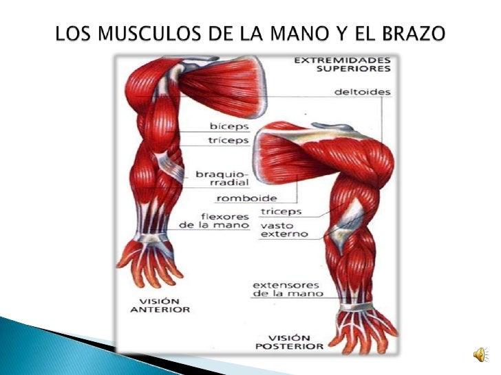 Encantador Los Músculos De Los Brazos Imágenes - Anatomía de Las ...