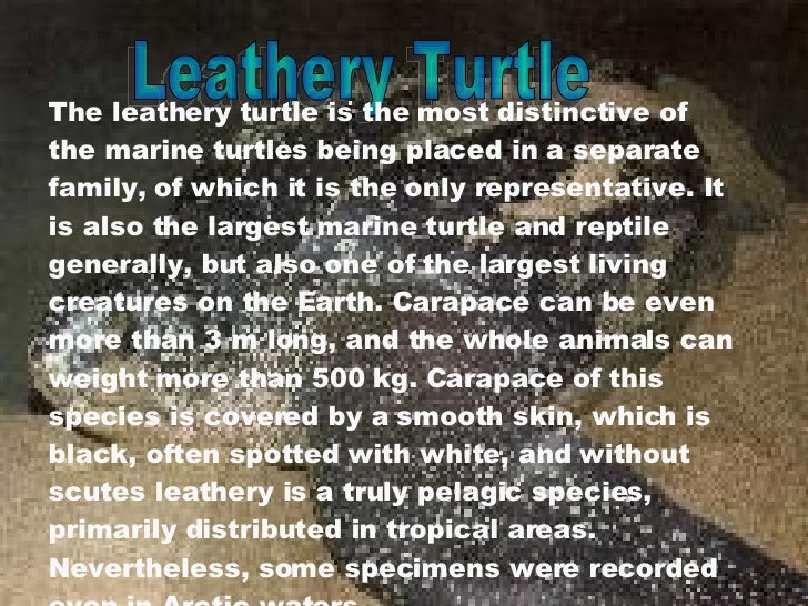 Leathery Turtle The leathery turtle is the most distinctive of the marine turtles being placed in a separate family, of wh...