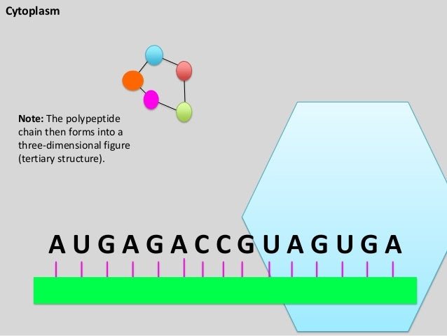 Cytoplasm  Note: The polypeptide chain then forms into a three-dimensional figure (tertiary structure).  AUGAGACCGUAGUGA