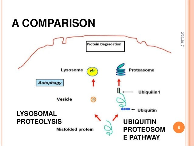 protein degradation Structural proteins and enzymes tend to last longer than regulatory proteins, and may have half-lives of one to three days depending on the protein, anywhere from less than 10% of available molecules to 100% may be broken down every hour protein degradation requires energy in the form of adenosine triphosphate (atp.
